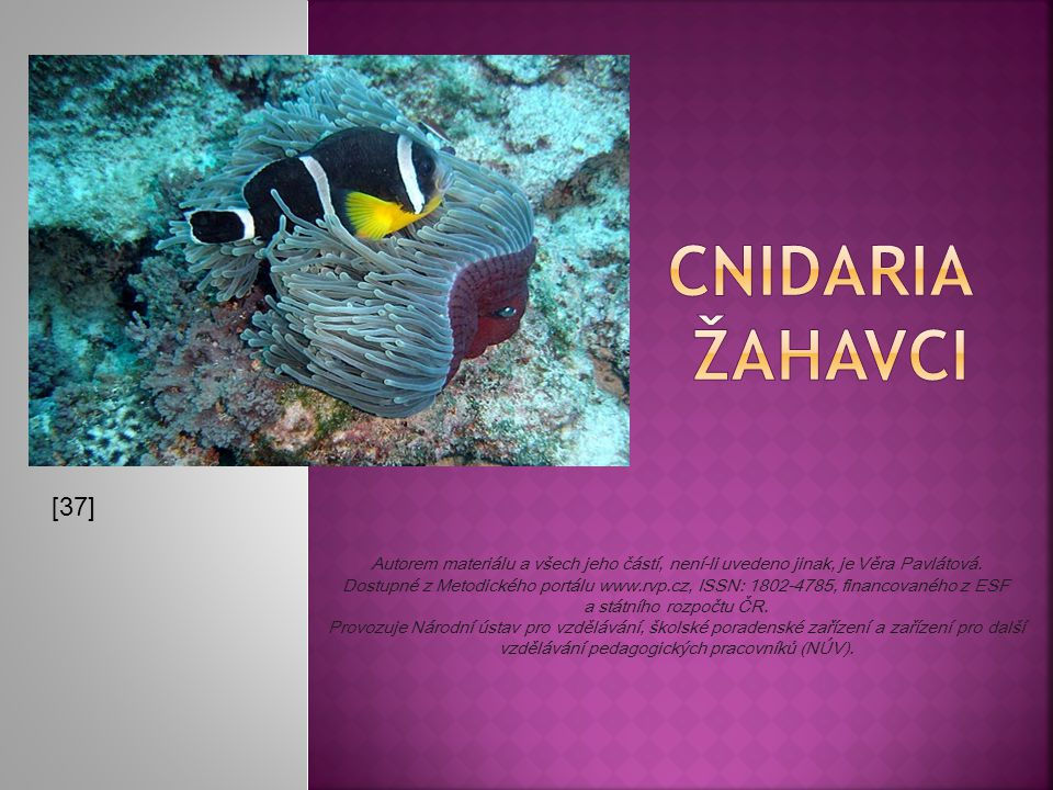 CNIDARIA ŽAHAVCI [37]